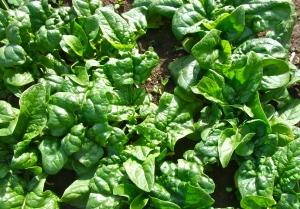 2012 garden spinach
