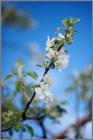 Apple Blossom #2  2012~Weymuller