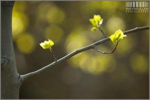 Spring Aspen leaves pop