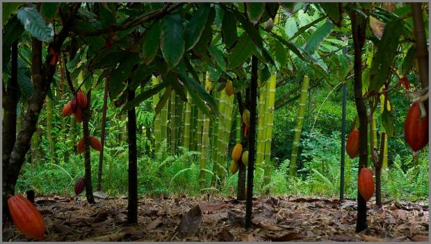 Kaua'i - Steel Grass - Rachelle's Photos Cacao plants