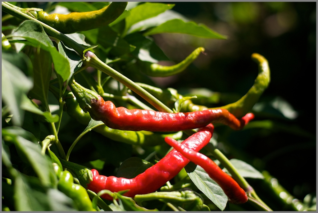 Cayenne peppers redden in the summer sun.  I dry them  and store for recipes such as these.