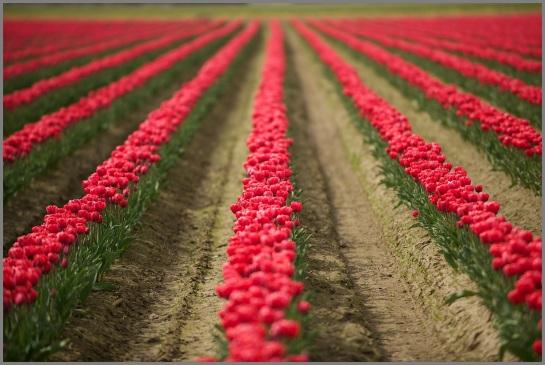 Skagit Valley Tulip Festival Red Tulip Lanes RKWeymuller Weymullerphotography