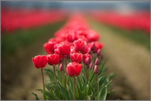 Skagit Valley Tulip Festival Red Tulips RachelleKWeymuller