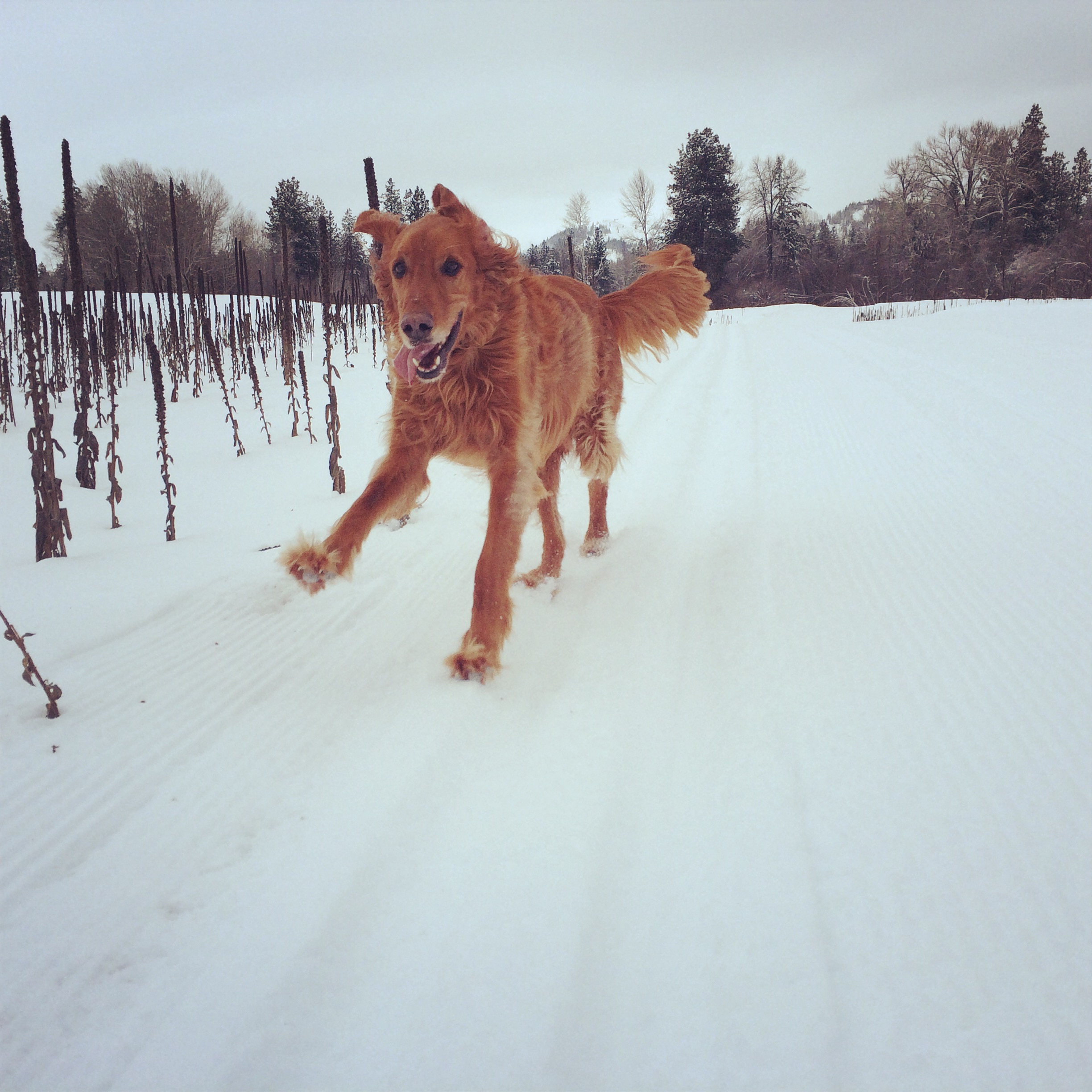 Run Boris Run- The B Dog skiing Big Valley Ranch - Methow Trails