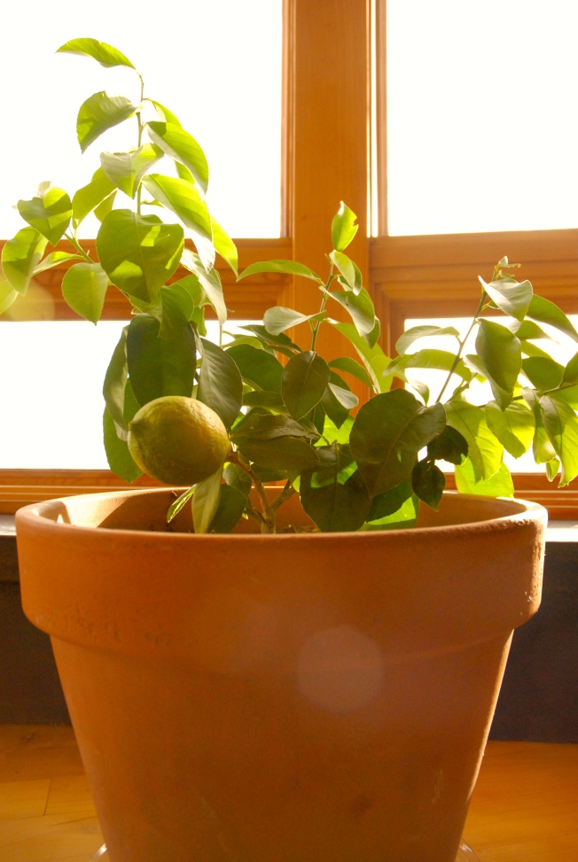 Indoor citrus/lemon tree bearing fruit