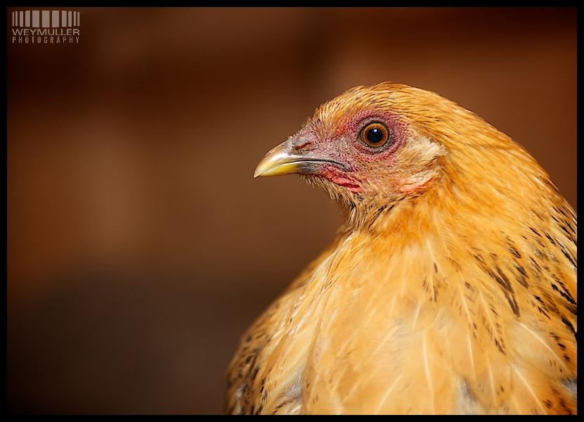 Chicken had shot